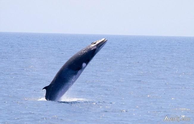 日本船只疑在澳洲鲸鱼保护区内偷猎小须鲸